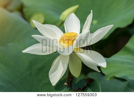 lotus on isolated white background.