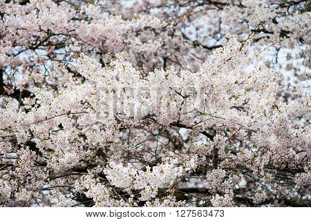 Blooming Tree Branches With White Flower
