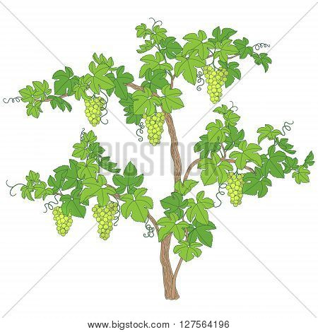 Grape bush isolated on white. Grape vines with green bunches and leaves.