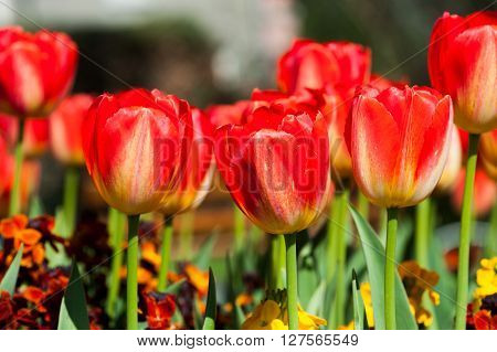Red tulips daydream in the garden close up