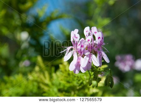 Geraniaceae Pelargonium (Pelargonium glutinosum) flowers in the garden