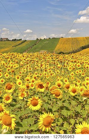 Country landscape in Marches (Italy) at summer: field of sunflowers ** Note: Visible grain at 100%, best at smaller sizes