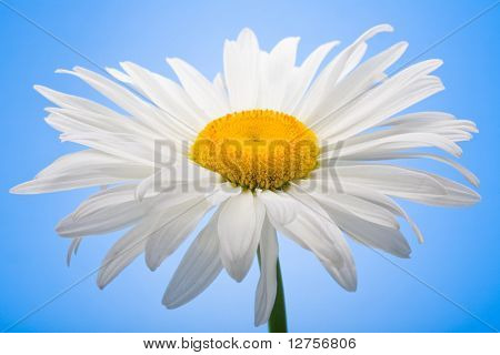 Close up view of the white daisy on the blue