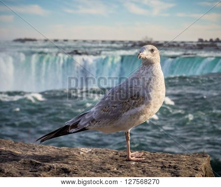 a ring billed gull (Larus delawarensis ) with niagara fall behind it