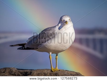 a ring billed gull (Larus delawarensis ) with a rainbow behind it and taken near Niagara Falls