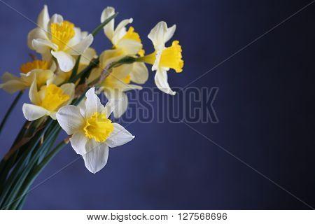 Fresh narcissus flowers on dark blue background