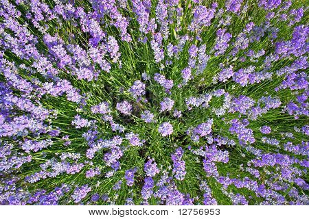 field lavender in mountain