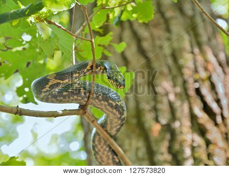 A close up of the snake (Elaphe schrenckii) on tree.