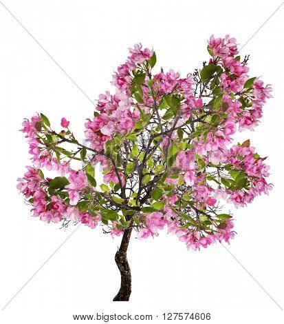 pink blossoming apple tree isolated on white background