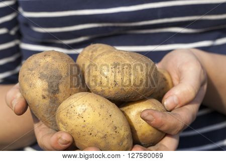 dug potatoes lying in the hands of a woman, close-up, small depth of field