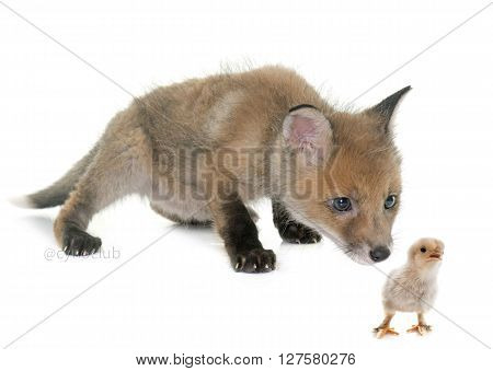 fox cub and chick in front of white background