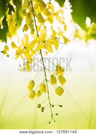 Golden Shower (cassia Fistula).