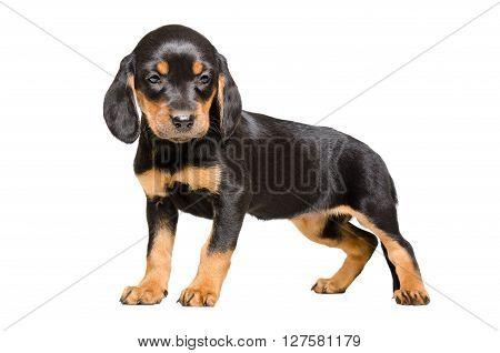 Beautiful puppy breed Slovakian Hound isolated on white background