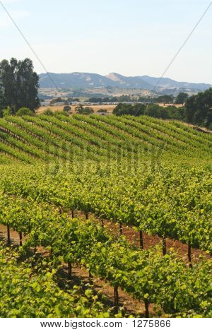 Wine Vineyard California
