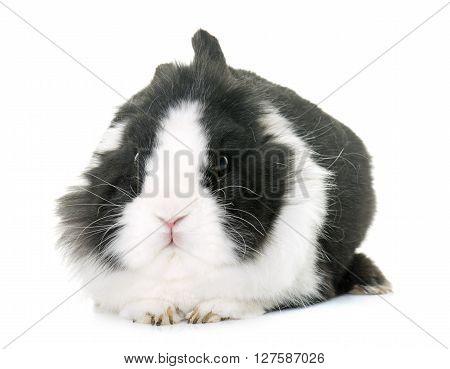 dwarf rabbit in front of white background