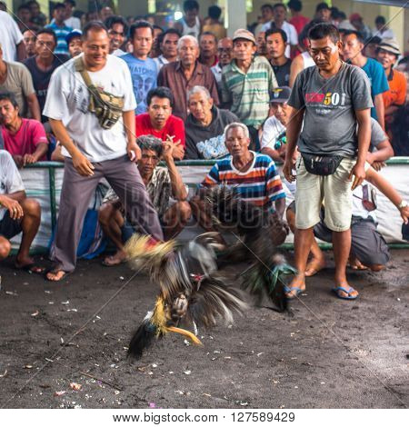 UBUD, INDONESIA - FEB 22, 2016: Locals during traditional cockfighting. Cockfighting is a very old tradition in Bali and religious aspects of cockfighting within Balinese Hinduism remain protected.