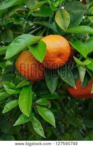 Ripe oranges growing on the tree close-up
