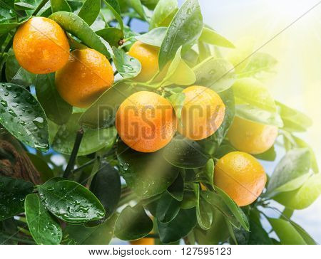 Ripe tangerine fruits on the tree in the sunlight. Blue sky background.
