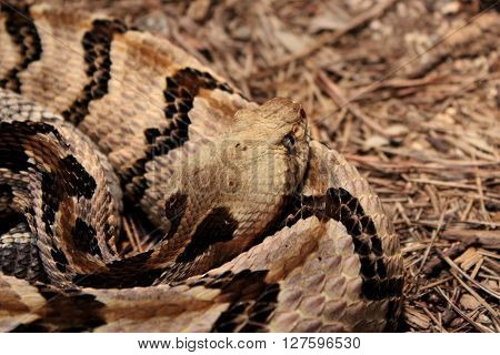 Closeup of a curled up black and brown Rattlesnake.