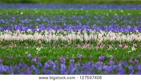 Hyacinth. Beautiful Hyacinth Flowers In Spring Garden, Vibrant Floral Background
