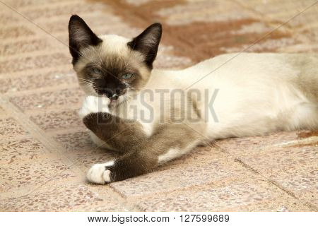 Cute kitty siamese wiping legs lying on the floor