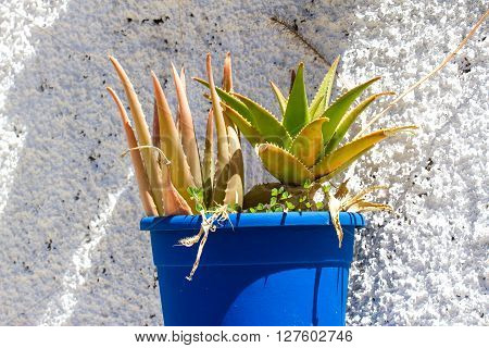 Aloe vera in pot. Leaves of aloe with white background