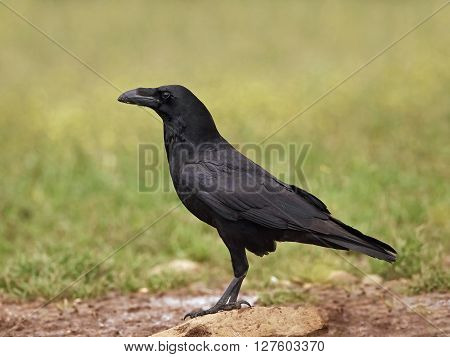 Common raven sitting on the ground in its habitat