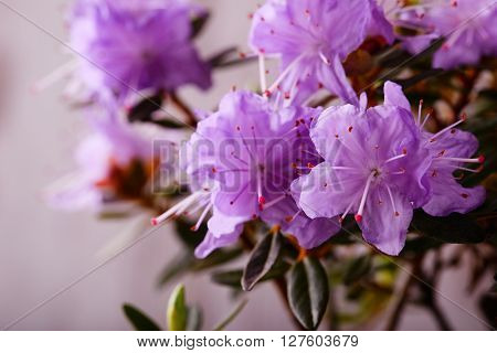Group Of Pink Rhododendron Bloom