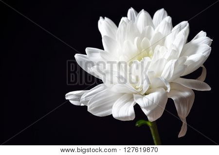 Open White Chrysanthemum On Black Background. Studio Lights And Shadows. Purity And Tenderness