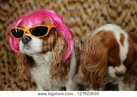 King Charles Spaniels wearing a Hot Pink Wig with yellow sunglasses and a silver hat for a dog fashion shoot.