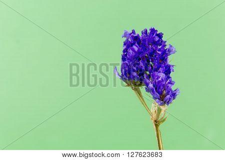 plant, flower, bloom, blossom, flora, dry flowers, purple, green backgound