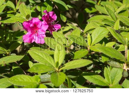 Pink Spring Azalea bloom in late with leaves