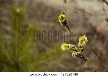 Flowering pussy-willow branch. Blooming osier. Spring background photo.