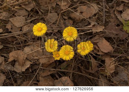 Blooming spring yellow coltsfoot flowers on last year foliage.