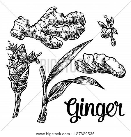 Ginger. Root root cutting leaves flower buds stems. Vintage retro vector illustration for herbs and spices set