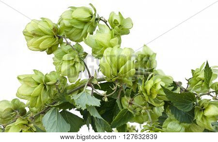 Wild Hop Isolated on White BackGround