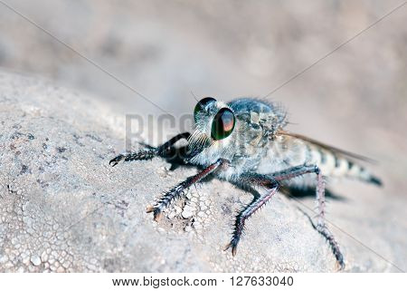 A macro shot of a robber fly on a rock