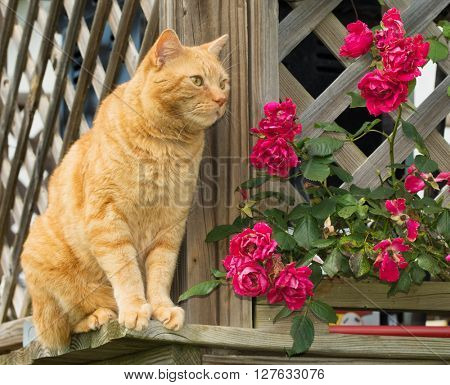 Orange tabby cat sitting on the outside of a wooden lattice railing, with roses