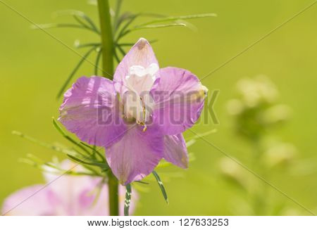 Single bloom of a light purple Larkspur