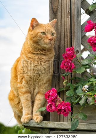 Ginger tabby cat sitting on outside of a wooden porch
