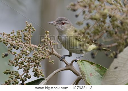 Migrating Red-eyed Vireo Perched In A Tree - Panama