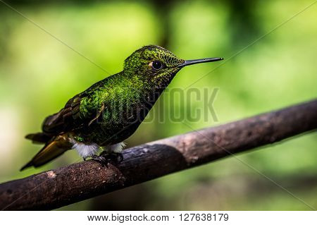 A green hummingbird sits on a branch. Hummingbirds are capable of moving their wings very fast.