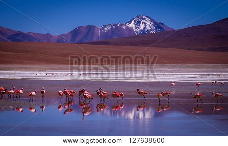 Snow peaked mountains reflect in a blue lagoon where flamingos stand - Eduardo Avaroa Andean Fauna National Reserve, BOLIVIA in September 2015