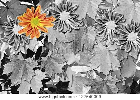 abstract background of autumn leaves . flowers chrysanthemum . black and white