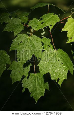 Green leaves with raindrops in natural light.