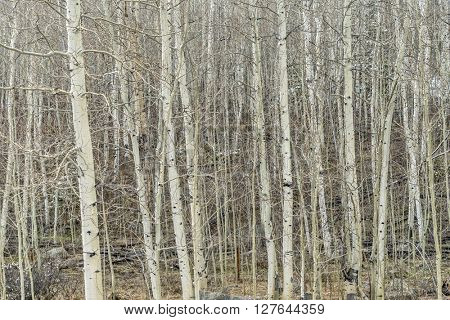 aspen grove in late winter or early spring, Rocky Mountains, Colorado