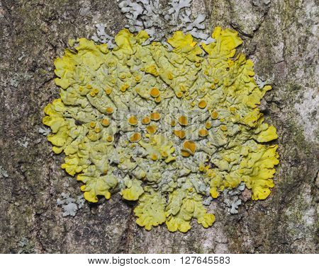 Lichen Xanthoria parientina on aspen tree bark macro selective focus
