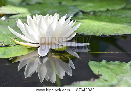 the white lotus or water lilies reflective with the water like the mirror in the pond