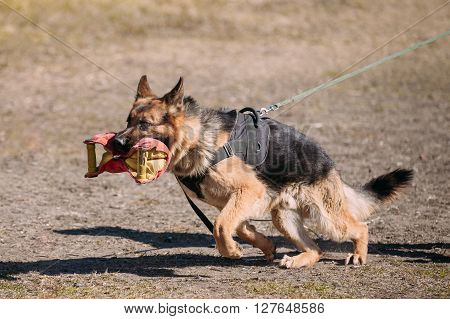 German Shepherd Dog Training. Biting Alsatian Wolf Dog. Deutscher Dog