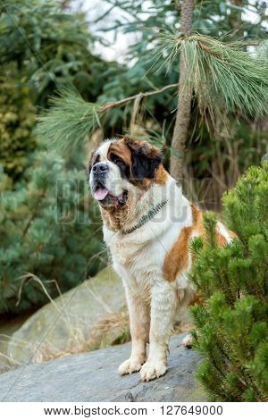 Portrait Of A Nice St. Bernard Dog